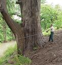 Measuring a Bald Cypress Tree