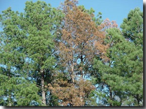 The pine tree with red needles has been attacked and killed by pine engraver beetles. Notice that other adjacent pine trees have not been attacked. Engraver beetles tend to select stressed or weakened
